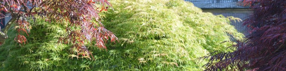 Cultivation of Japanese maples and cornus